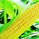 Зерновая компания приобретет кукурузу с базисом поставки Ростов-на-Дону, Азов, Ейск, Новороссийск.
