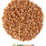 Купим пшеницу на экспорт.