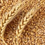 Закупаем Пшеницу 4кл. Протеин 12.5. в Новороссийске